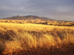 Sacaton Grass (Courtesy of the Riester Foundation)