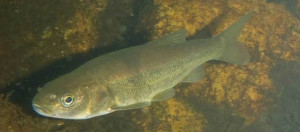 Gila Chub (Courtesy of Scott A. Bonar,  USGS Arizona Cooperative Fish and Wildlife Research Unit)