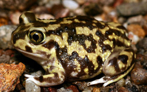 Couch's Spadefoot adult female (Courtesy of Gary Nafis, Reptiles of Arizona)
